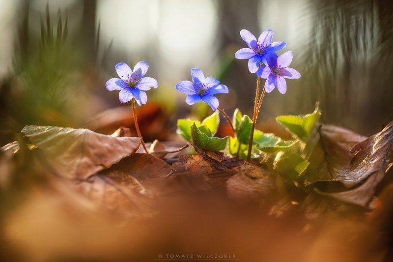softness, beautiful, colours, spring, forest, light, morning, poland, flowers, plants Softnessphoto preview