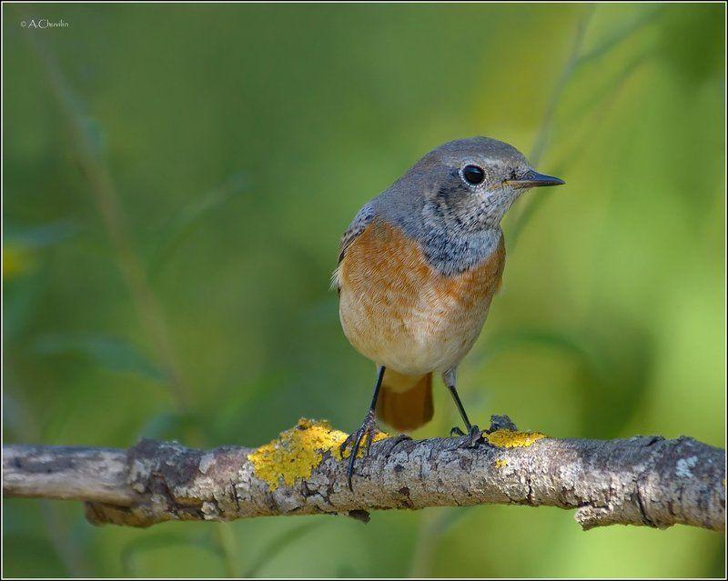 птица,горихвостка Горихвосткаphoto preview