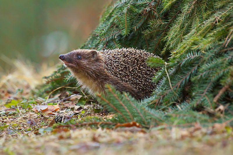 ёж, ёжик, животные, весна, природа После зимней спячкиphoto preview