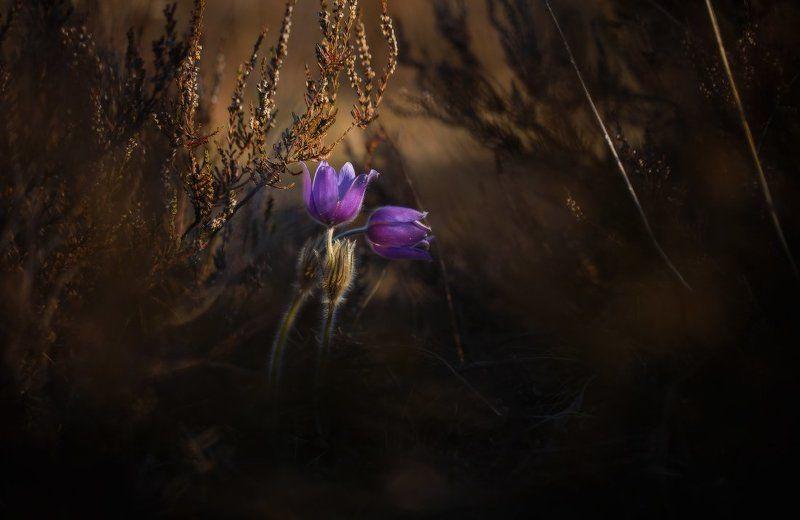 весна,первоцвет,сон-трава Весенний флирт...photo preview
