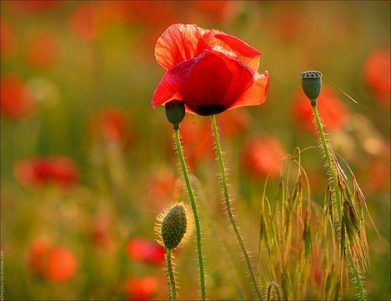 мак, макро, цветение Огненные цветыphoto preview