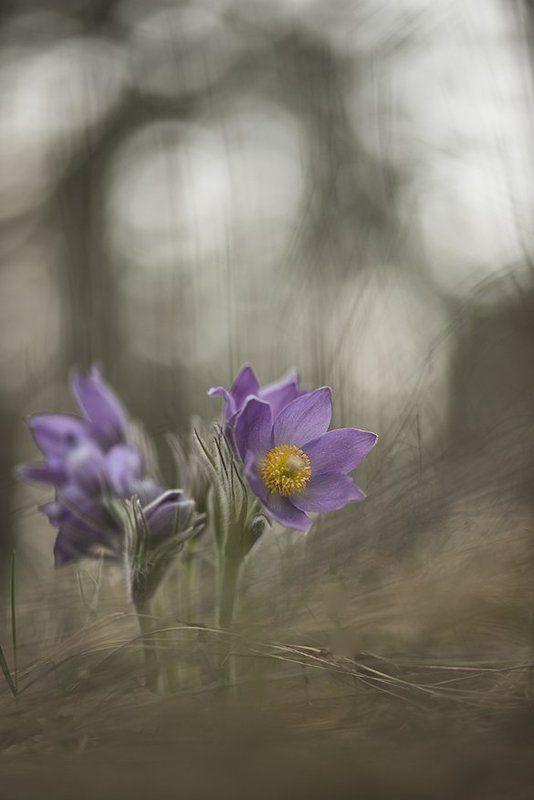 простлел, цветы, свет, цвет, сон трава, лес, весна, апрель, краски. маклок, воронеж Весна поёт цветами...photo preview