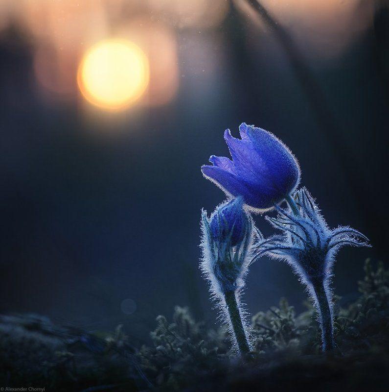 oleksandr chornyi, макро, макро красота, макро мир, макро истории, природа, украина, коростышев, сон-трава, лес, весна, любовь, закат, Жить любяphoto preview