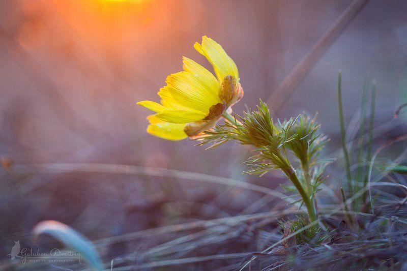 адонис, горицвет, цветы, макро, растения, macro, adonis, plants Горицветphoto preview