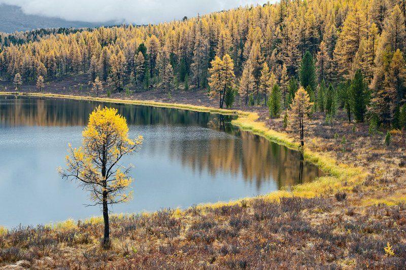 лиственницы, осень, отражения, горный алтай, озеро киделю 3 х 3 ... или Трижды Триптих ...photo preview