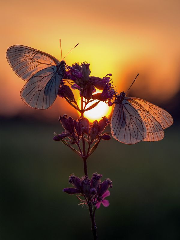 макро, закат, бабочки, бабочка, белянка Вечер белянокphoto preview