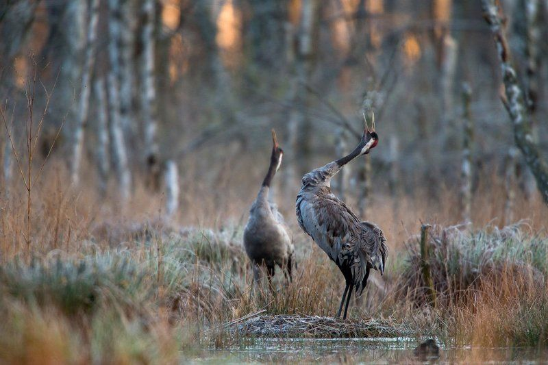 grus grus Morning in the swampphoto preview