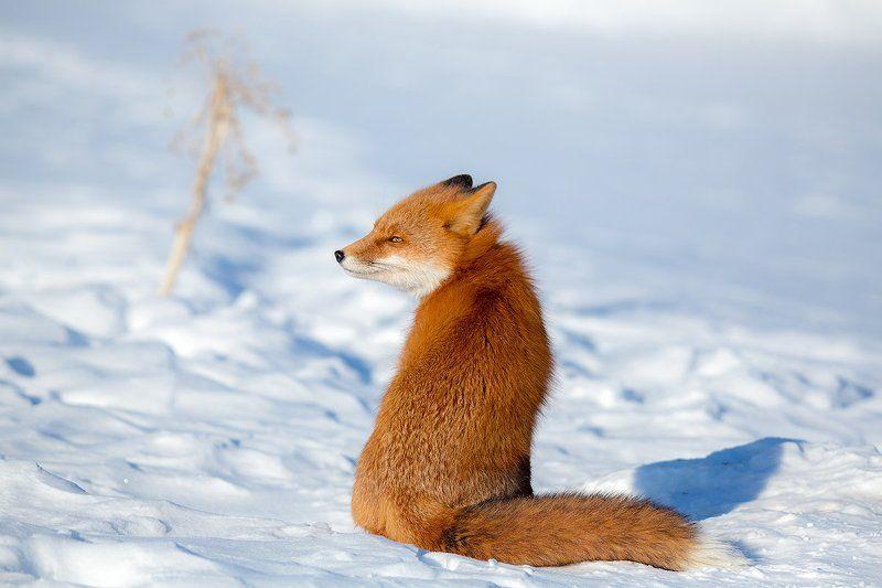 камчатка, лиса, животные, природа, путешествие, зима, Z - Зорроphoto preview