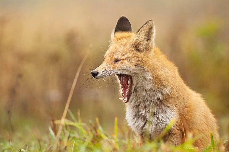 fox, wildness, hide, poland, lazy, red fox, fuchs, mammal, Laaaazy dayphoto preview