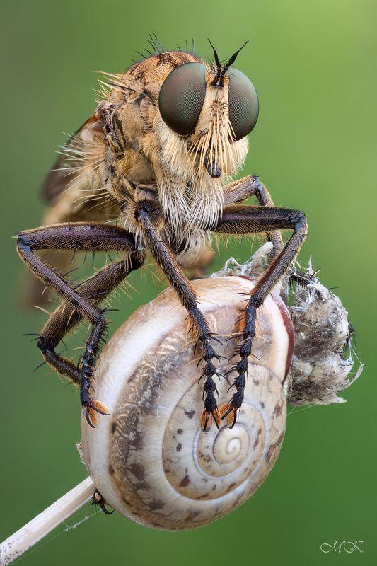 ктырь, robber fly, asilidae Серый Братphoto preview