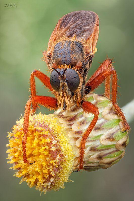 ктырь, robber fly, asilidae Рыжий Братphoto preview