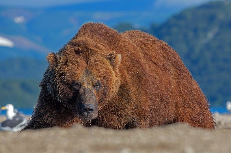 Камчатка, медведь, природа, животные, путешествие,  Медведь Гораphoto preview