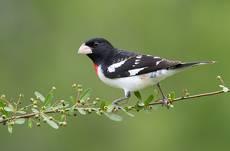 Красногрудый дубоносовый кардинал  - Rose-breasted Grosbeak