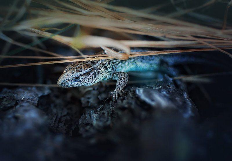 ящерка Миладорьяphoto preview