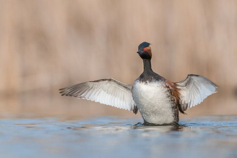 black-necked grebe; Podiceps nigricollis; Birder\'s Corner; Birds The black-necked grebe (Podiceps nigricollis)photo preview