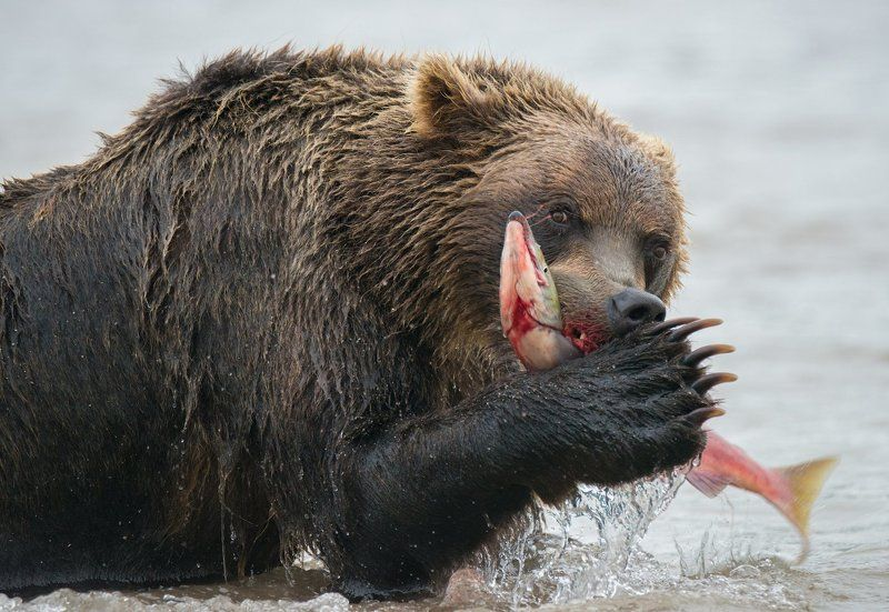 камчатка, курильское озеро Жизнь медвежья....photo preview