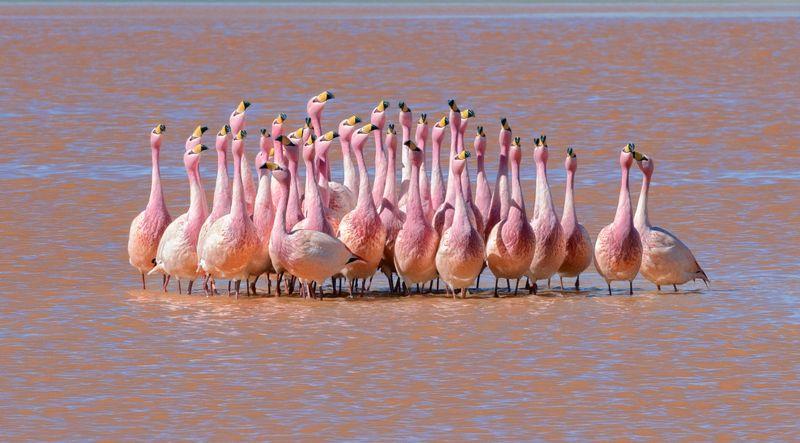 боливия, bolivia Игры Фламингоphoto preview