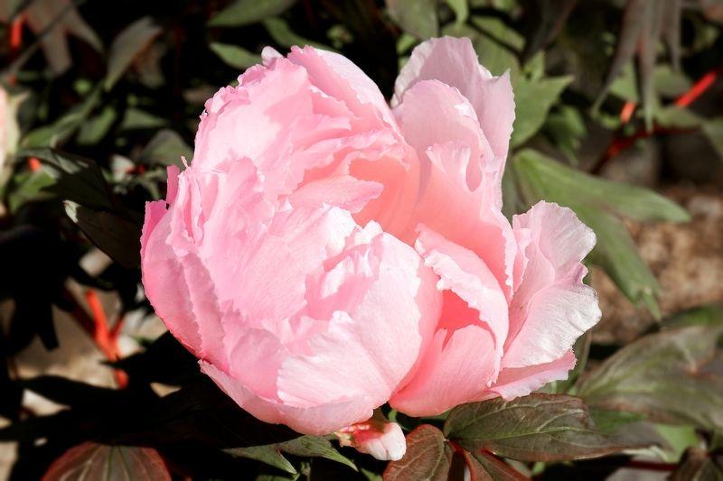 пионы Розовое облакоphoto preview