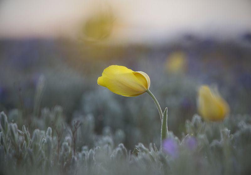 пейзаж, макро,тюльпан,шренка,дикий,туман,опук,крым,трава,желтый,зеленый,поле,россия,природа,цветы Дикий тюльпан Шренкаphoto preview