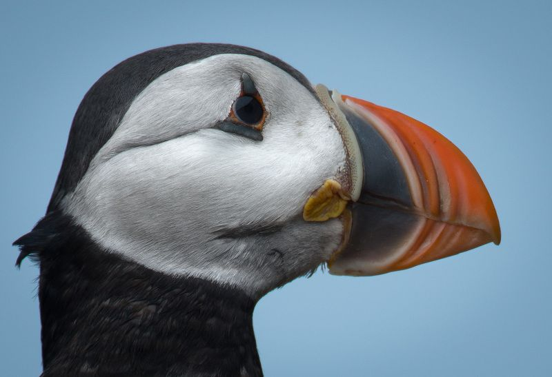 Puffin, Norway Puffin profile picphoto preview