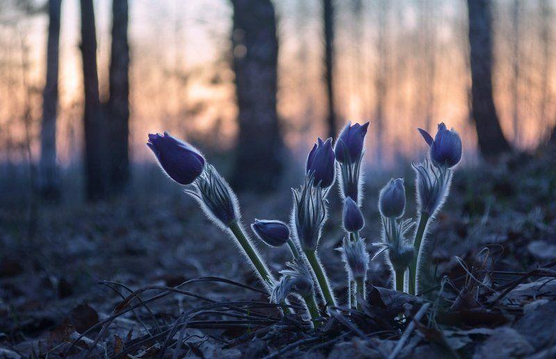 сон-трава, сумерки, тишина, лес, холодный вечер, начало мая Сон-траваphoto preview