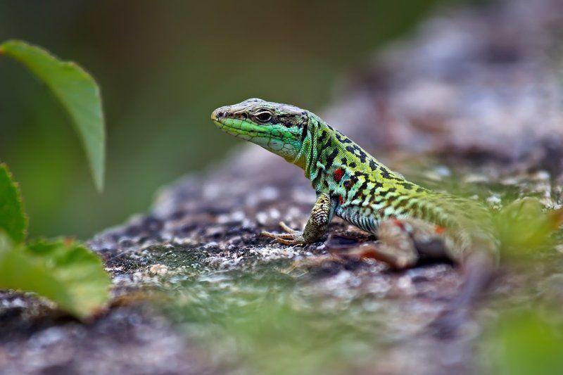 ящерица, пресмыкающиеся, природа, дикая природа, рептилия Калабрийские драконыphoto preview