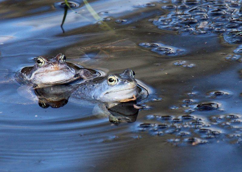 Нерест лягушекphoto preview