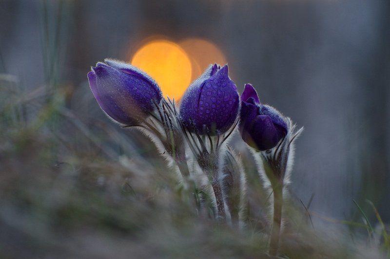 сон - трава, прострел, природа, цветы Дню уходящемуphoto preview