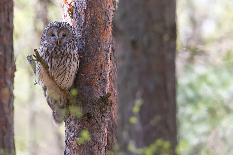 bird,owl,nature. Ural Owlphoto preview