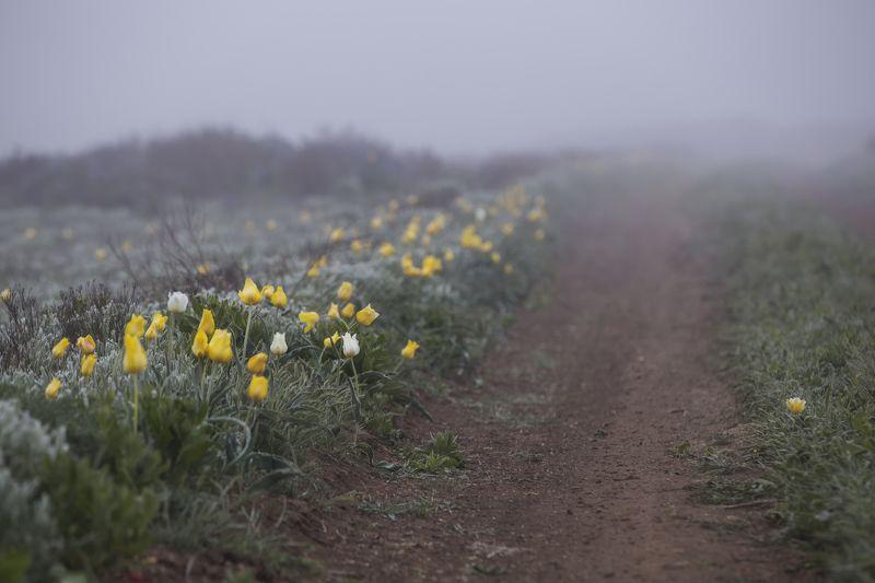 дорога,проселок,дикий,тюльпан,тюльпаны,туман,трава,желтый,зеленый,опук,крым,россия,заповедник,пейзаж,цветы,природа Дорогой тюльпановphoto preview