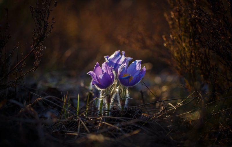 сон-трава,первоцвет,прострел,весна,макро Сон-трава..photo preview