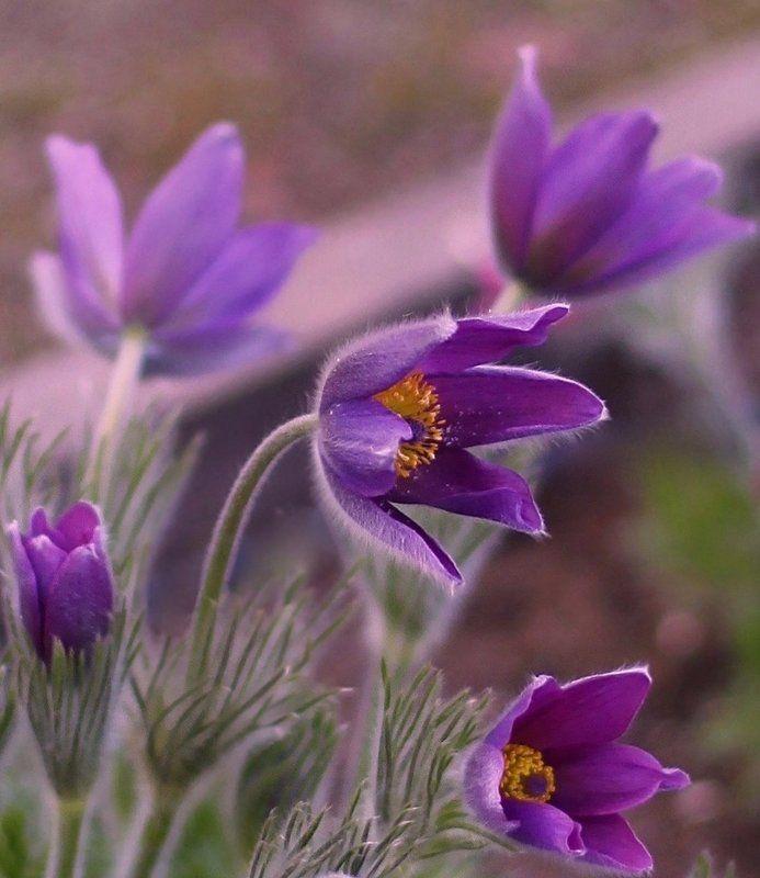 сон-трава, весна, прострел, spring Anemonephoto preview