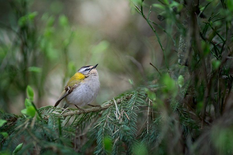 firecrest, wildlife, bird Dreamerphoto preview
