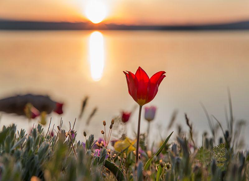 рассвет,крым,тюльпан,красный,пейзаж,природа,розовый,солнце,озеро,вода,трава,цветы,горизонт,холм,лепестки,шренка,дикий,россия Встреча рассветного солнцаphoto preview