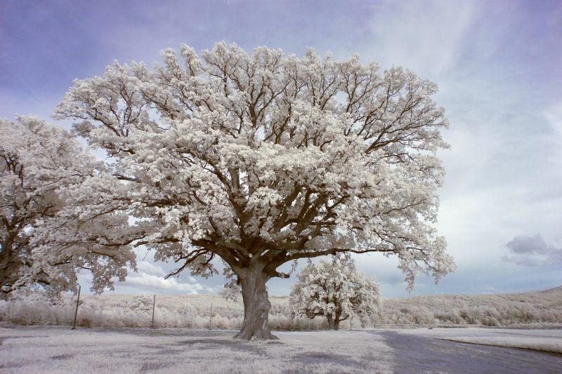 инфракрасная фотография, дубрава, лес, ик фотография, лето,  Великанphoto preview