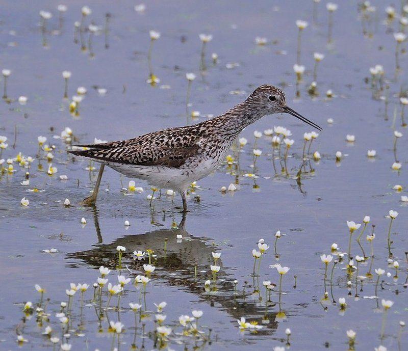 птица,природа,кулик поручейник Пересчитывая цветочки...photo preview