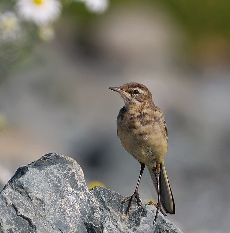 птица,слёток,жёлтая трясогузка Молодой альпинист...photo preview
