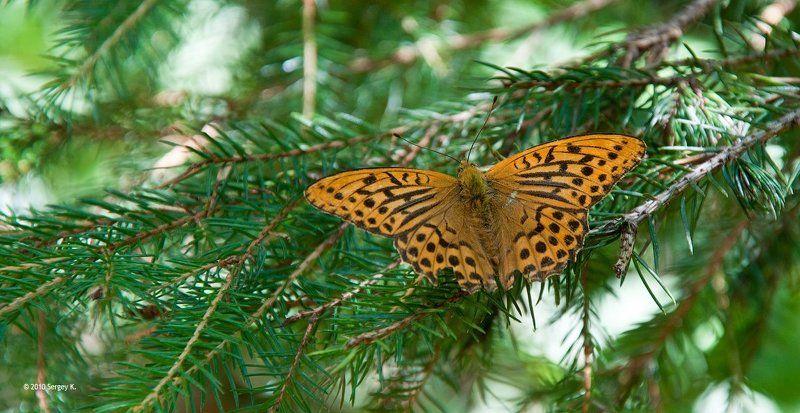 лес, бабочка, ель, солнечный, день ***photo preview