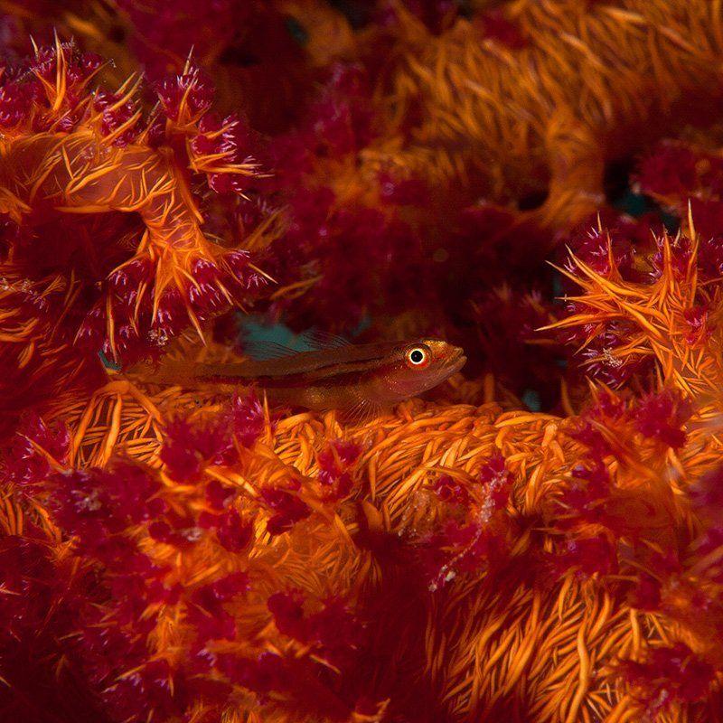 красное море, подводная съемка, риф, золотая рыбка, коралл взрывphoto preview