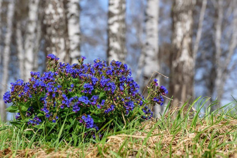 цветы, медуница, алтай, весна, flowers, altai, spring Медуницаphoto preview