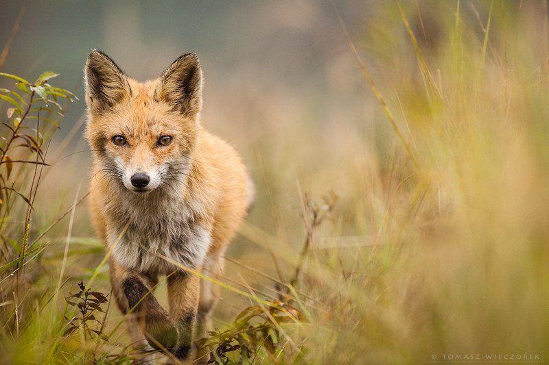 fox, fuchs, red fox, wildlife, poland, hide, autumn, fields, grass, wild, eye, silence Eye to eyephoto preview