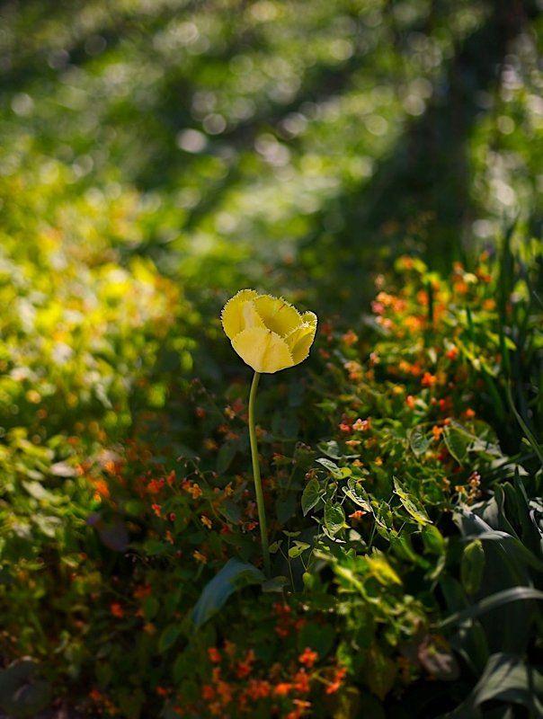 тюльпаны, tulips, весна, spring, солнце, sun Tulipsphoto preview