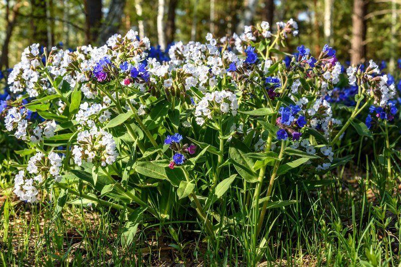 цветы, весна, алтай, flowers, spring, altai Белая медуницаphoto preview