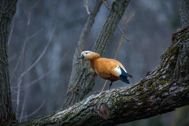 огарь, утка, дерево, птица, фотоохота, животные Огарьphoto preview
