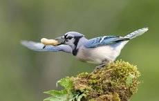 Голубая сойка - Blue Jay