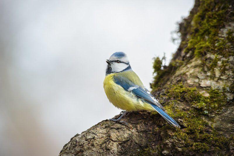 обыкновенная лазоревка, синица, птицы, животные, синий Обыкновенная лазоревкаphoto preview