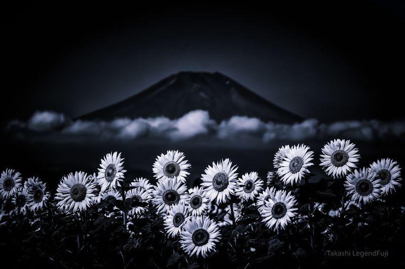 Fuji,Japan,mountain,flower,sun flower,cloud,blue, Sunflower, cloud and the mountain (Blue ink version)photo preview