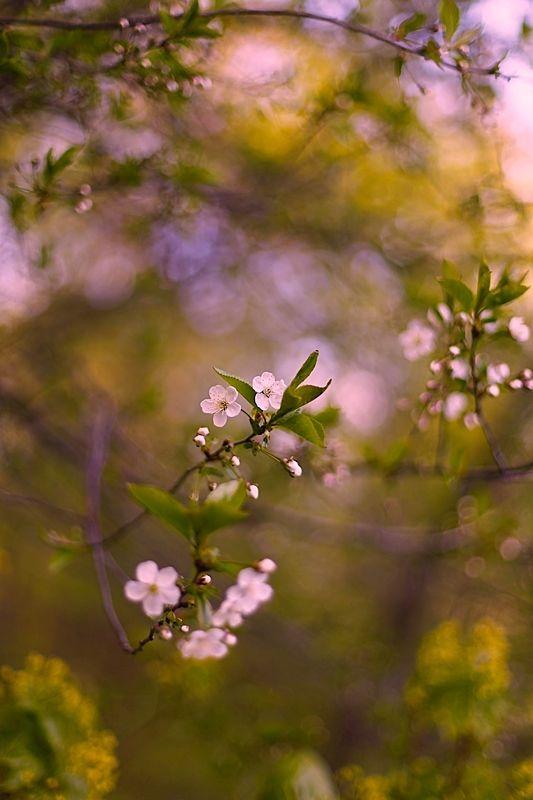 весна, spring, cherry, вишня Cherryphoto preview