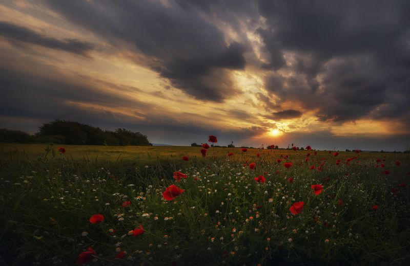 landscape,nature,poppies,colors,flowers,fields,sunset, пейзаж, природа Poppiesphoto preview