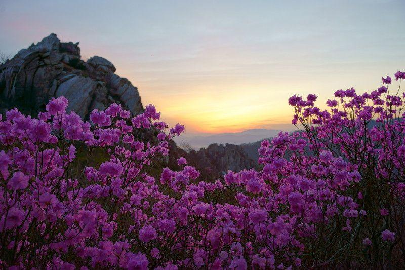 spring,korea,mountain,dawn,azalea,flower,clouds,light,cloud,rocky mountain, Azalea of the Dawnphoto preview